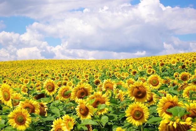 Zonnebloem veld over bewolkte blauwe hemel