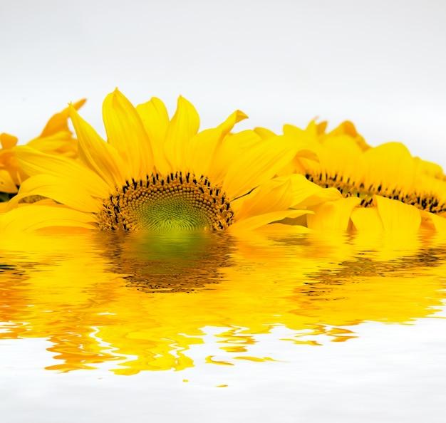 Zonnebloem zet in het water