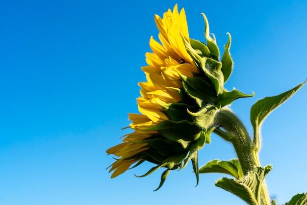 Zonnebloemblaadjes met uitzicht op de zon op een mooie dag in de velden van castilla la mancha, spanje