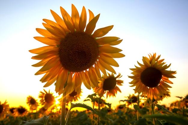 Zonnebloembloem in een veld in zonnestralen tegen de hemel. landbouw en agro-industrie