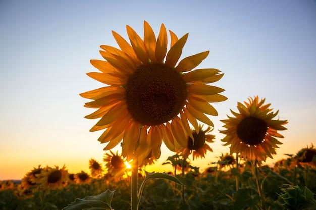 Zonnebloembloem in een veld in zonnestralen tegen de hemel