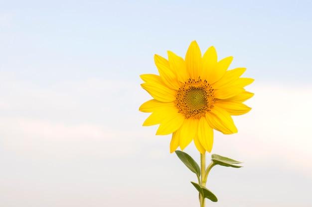 Zonnebloembloem tegen blauwe hemel