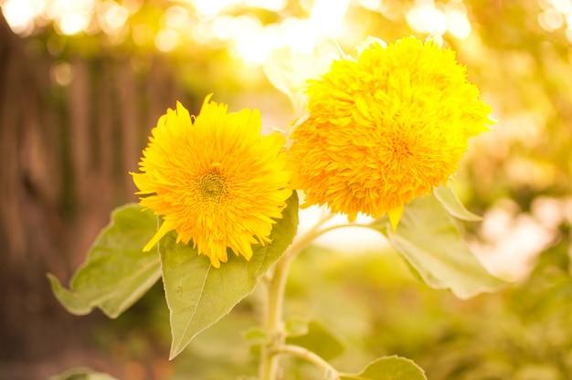 Zonnebloembloemen in zonnige dag
