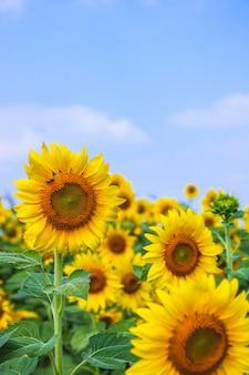 Zonnebloembloesem met de dag van de onduidelijk beeldhemel
