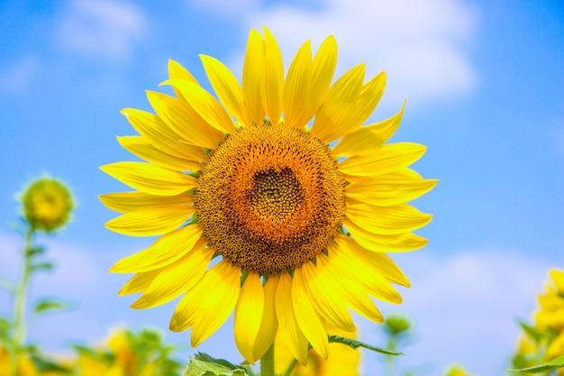 Zonnebloembloesem op blauwe hemel dichte omhooggaand