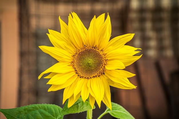 Zonnebloemdetail in de lente tijdens de groeifase