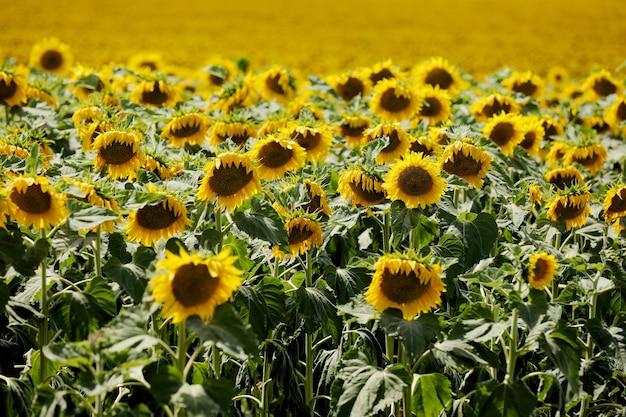 Zonnebloemen achtergrond