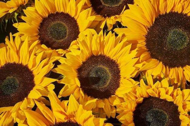 Zonnebloemen achtergrond.