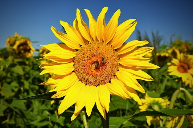 Zonnebloemen bloeien in boerderij - veld met blauwe lucht en wolken. mooie natuurlijke gekleurde achtergrond. bloem in de natuur.