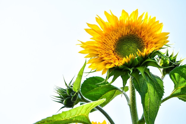 Zonnebloemen bloeien in een veld in de vroege herfst zonlicht, mooie zonnebloemen in de tuin met zonnestralen, zomer buiten natuur achtergrond. kopieer ruimte, horizontale foto
