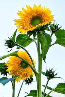 Zonnebloemen bloeien in een veld in de vroege herfst zonlicht, mooie zonnebloemen in de tuin met zonnestralen, zomer buiten natuur achtergrond. kopieer ruimte, verticale foto