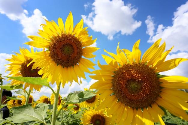 Zonnebloemen bloeien op een bule hemel.
