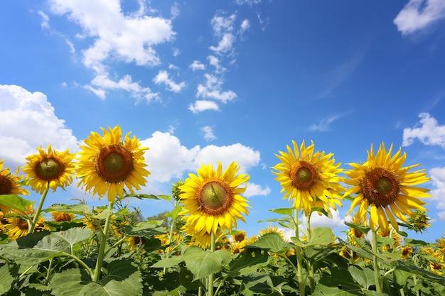 Zonnebloemen bloeien op een bule hemelachtergrond en hebben kopieerruimte.