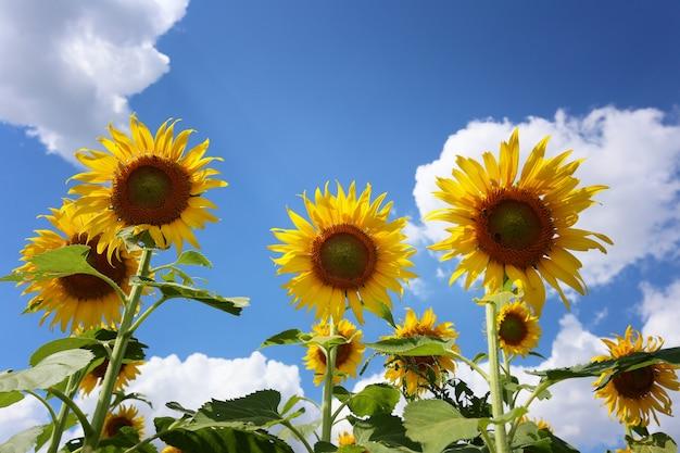 Zonnebloemen bloeien op een bulehemel