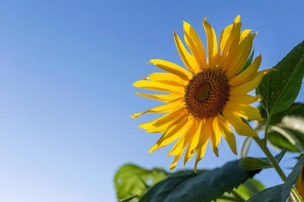 Zonnebloemen bloeien op een veld met blauwe lucht en heldere hemel