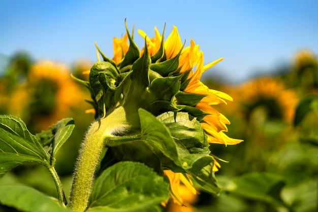 Zonnebloemen groeien in het veld in de zomer van de achtergrond van de blauwe lucht. detailopname