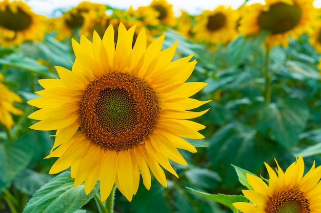Zonnebloemen groeien in het veld
