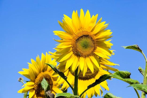 Zonnebloemen in de zomer