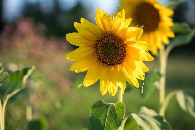 Zonnebloemen in de zon.