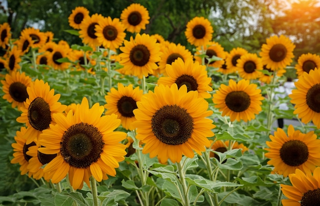 Zonnebloemen in een park