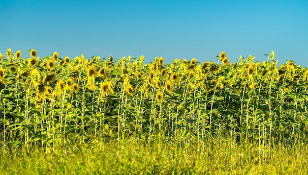 Zonnebloemen in een veld in de regio koersk in rusland