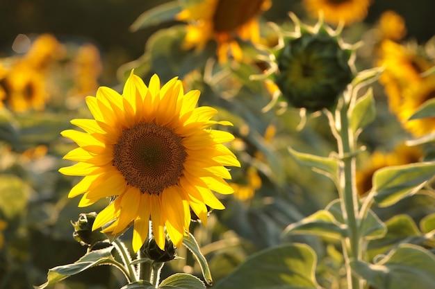Zonnebloemen in het veld in de schemering