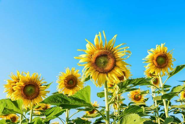 Zonnebloemen in het veld met blauwe lucht