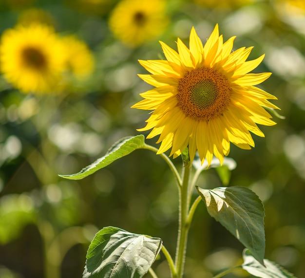Zonnebloemen in het veld met vooraan
