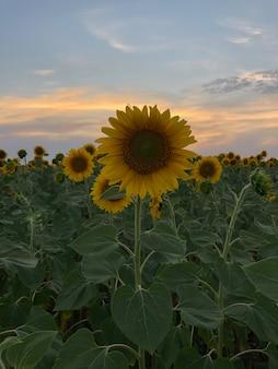 Zonnebloemen in het veld op de zonsondergang