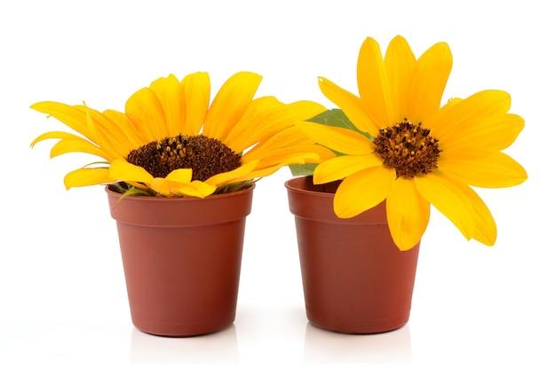 Zonnebloemen in potten