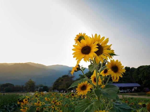 Zonnebloemen in veld 's avonds