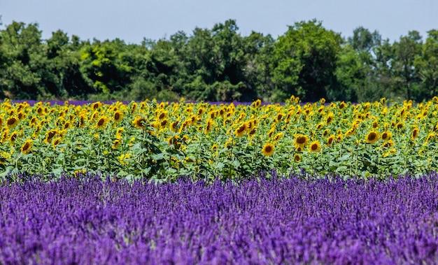 Zonnebloemen op de achtergrond van een lavendelveld