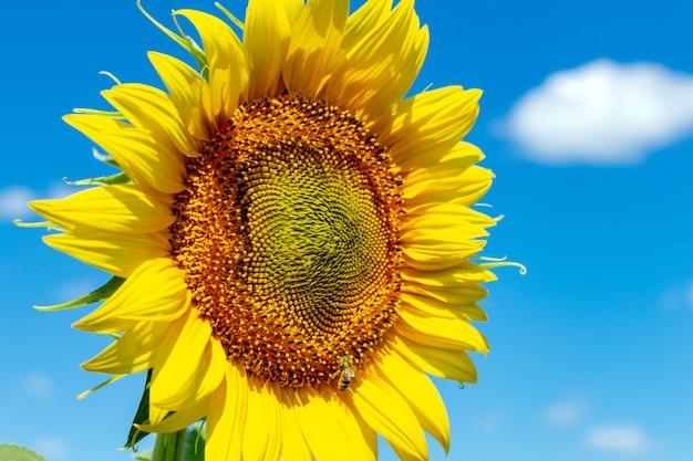 Zonnebloemen op de blauwe hemel. landbouw, landbouw, platteland, economie, agronomieconcept.