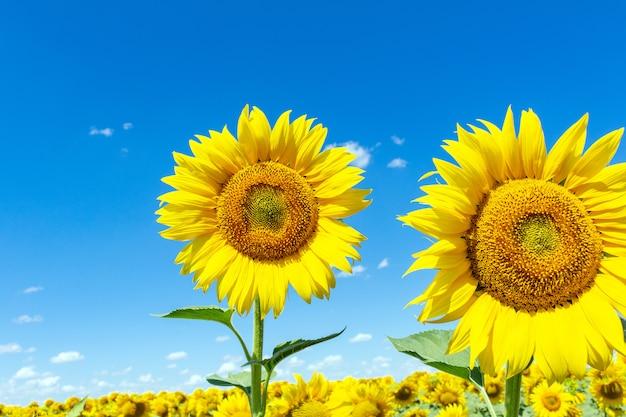 Zonnebloemen op de blauwe hemel