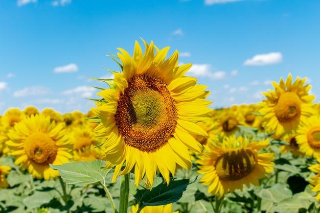 Zonnebloemen op de blauwe hemelachtergrond