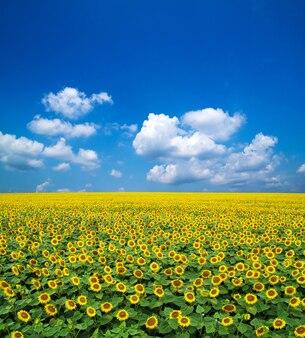 Zonnebloemen op een blauwe lucht
