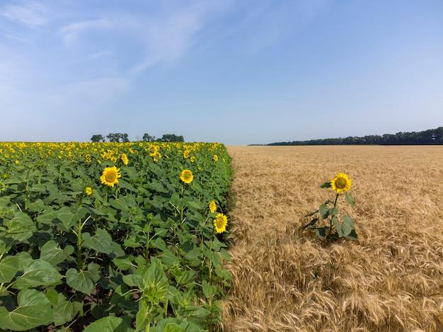 Zonnebloemen op een tarweveld