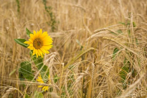 Zonnebloemen op het gebied van tarwe
