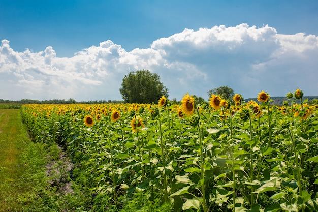 Zonnebloemen op het veld op een zonnige zomerdag. zonnebloemzaad.
