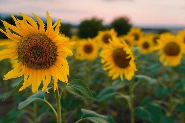 Zonnebloemen veld bij zonsondergang