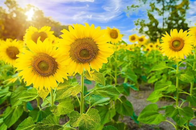 Zonnebloemen veld bloeiende achtergrond zomer blauwe hemelachtergrond in thailand