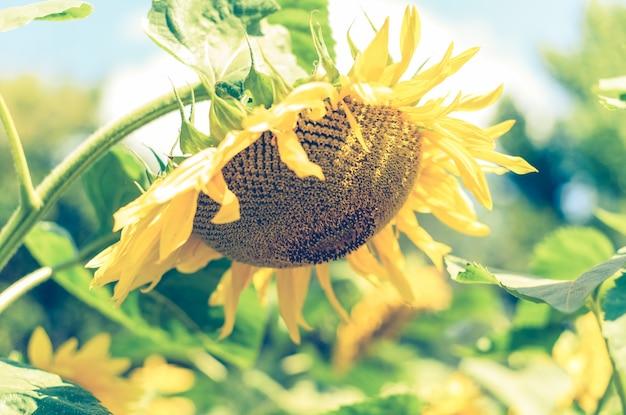 Zonnebloemen veld. close-up van zonnebloem in het zonlicht