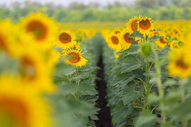 Zonnebloemen veld in het zomerseizoen