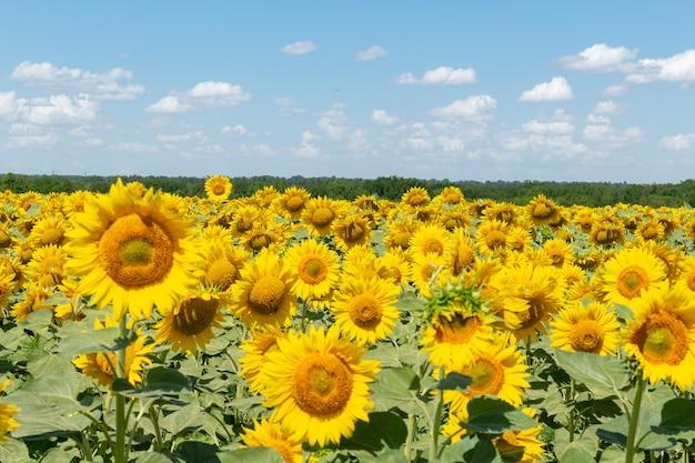 Zonnebloemen veld op de blauwe hemelachtergrond