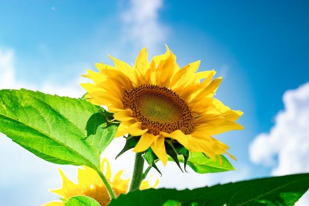 Zonnebloemen veld tegen een bewolkte blauwe hemel. landbouw. mooie zomerse landschap