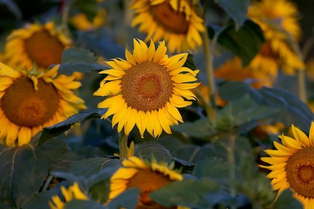 Zonnebloemen worden voor zonsopgang van dichtbij gefotografeerd