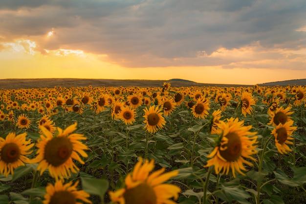 Zonnebloemgebied bij zonsondergang in de zomer