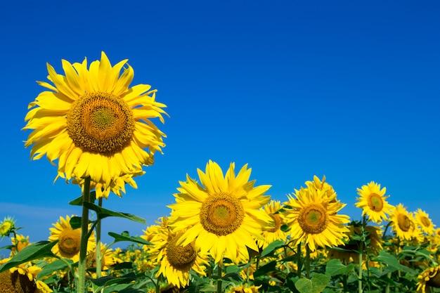 Zonnebloemgebied met blauwe hemel