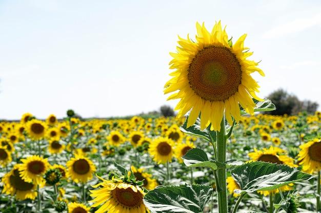 Zonnebloeminstallatie in een zonnebloemaanplanting met duidelijke hemel