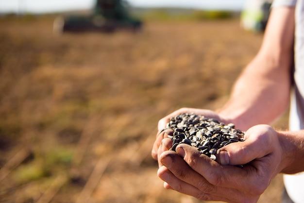 Zonnebloemkorrels in de handen, geoogst in het veld.